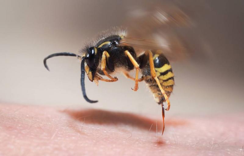 维州小镇遭欧洲黄蜂入侵,可反复蜇人致严重过敏!当地居民:到处都是(图片)