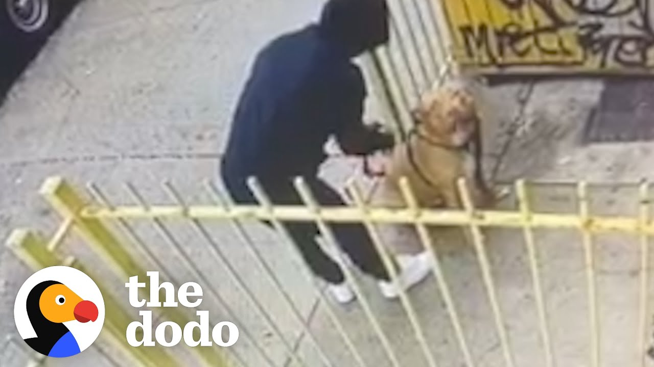 Hidden Camera Catches Guy Abandoning Pit Bull Outside A Store   The Dodo Pittie Nation