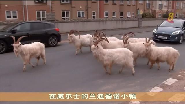 疫情下无法进行定期避孕注射 威尔士小镇山羊数量激增