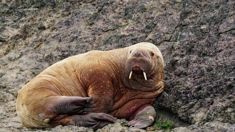 Walrus spotted in Wales, days after one seen off Ireland