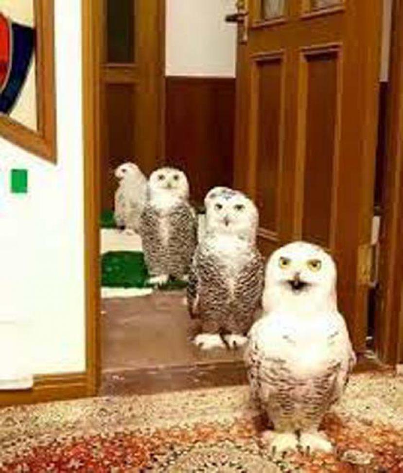 雪鸮排队站好 动物也懂社交距离