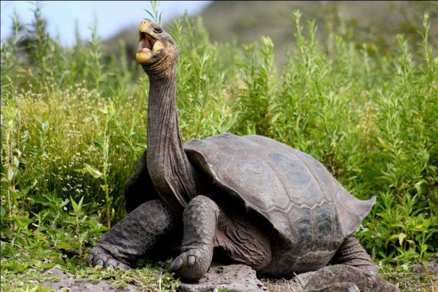 进化论发源地 发现偷运185陆龟