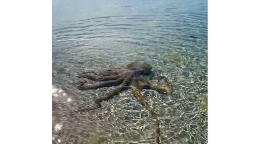 Australia: geologist beaten up by 'angriest octopus' on beach