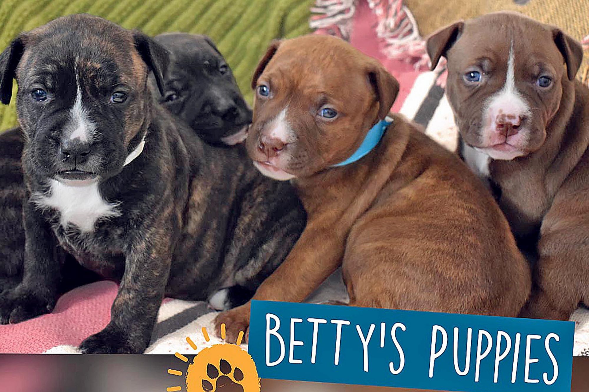 Mother Pit Bull Leads Colorado Shelter Employees to Her Four Freezing Puppies in Need of Help