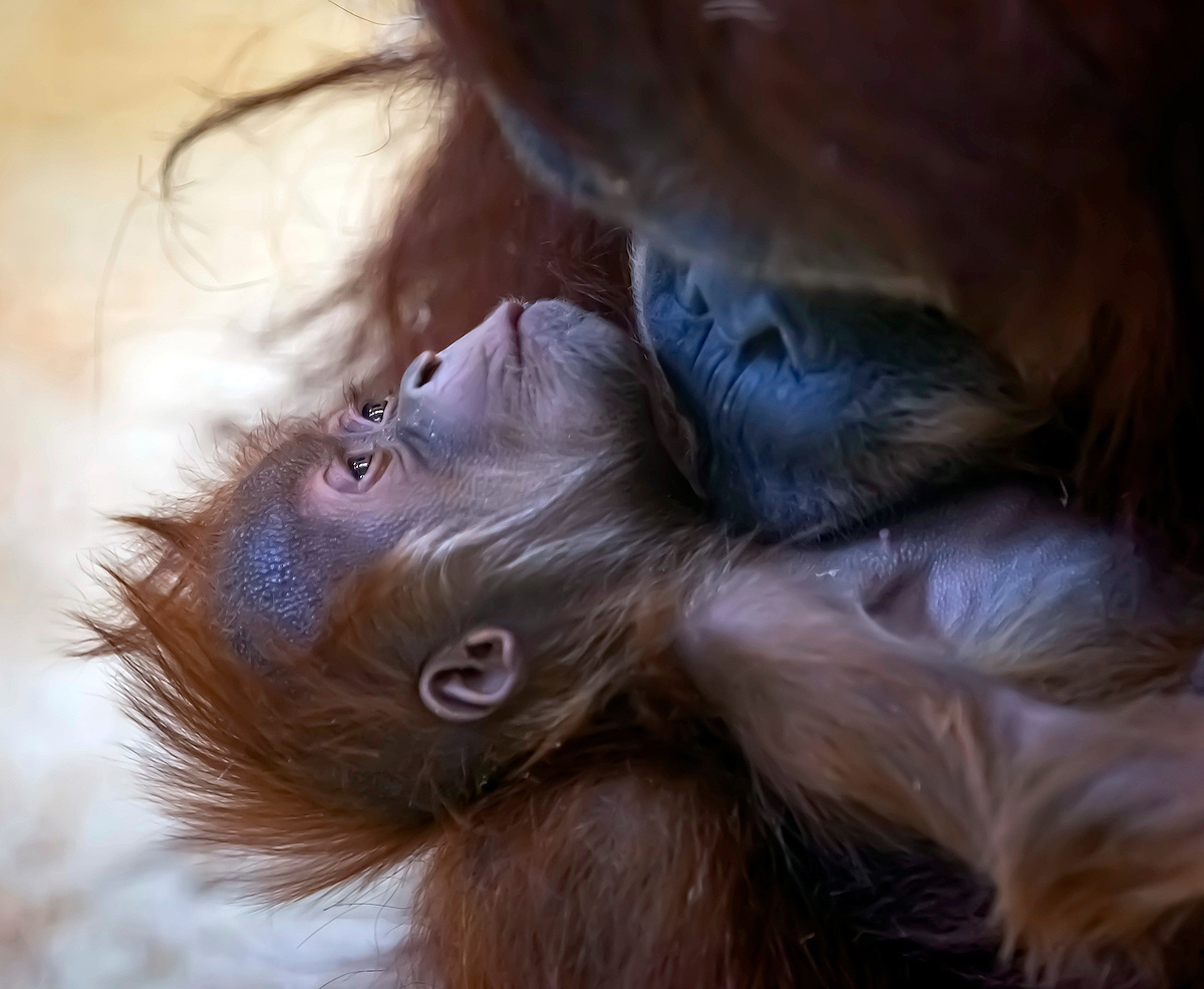 Orangutan and Her Baby Make a Cuddly Debut at the Audubon Zoo: 'The Day Has Finally Arrived!'
