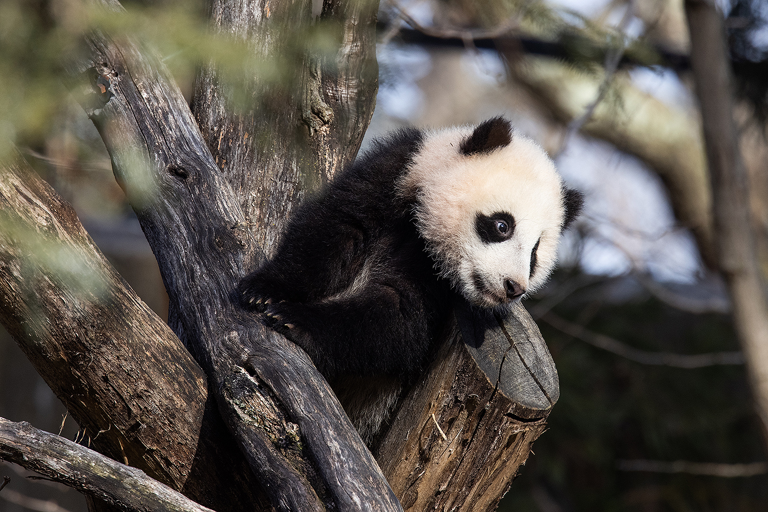The National Zoo's Panda Cub Is Learning to Climb Trees and Roll Down Hills: 'It's Pretty Cute'
