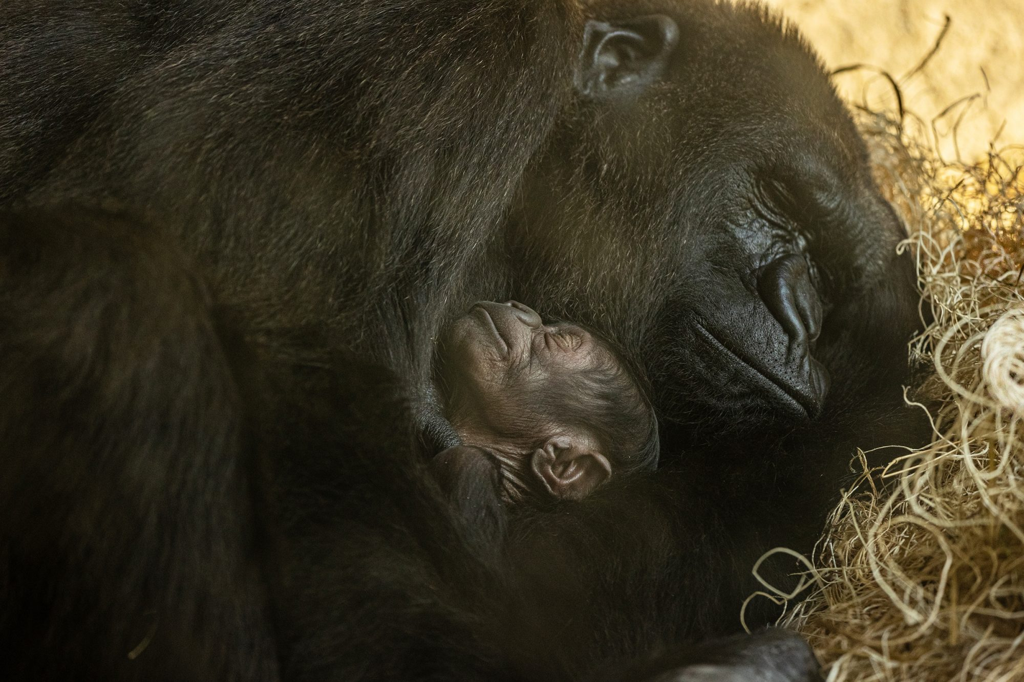 Florida Zoo Welcomes 'Critically Endangered' Baby Gorilla: 'We Have Many Reasons to Celebrate'