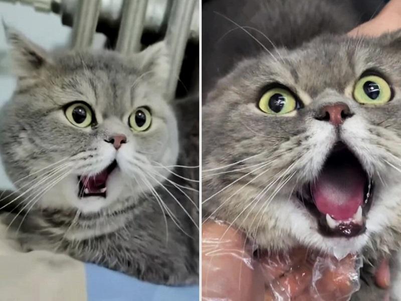 猫咪打哈欠下巴脱臼 兽医:看来好笑其实痛苦
