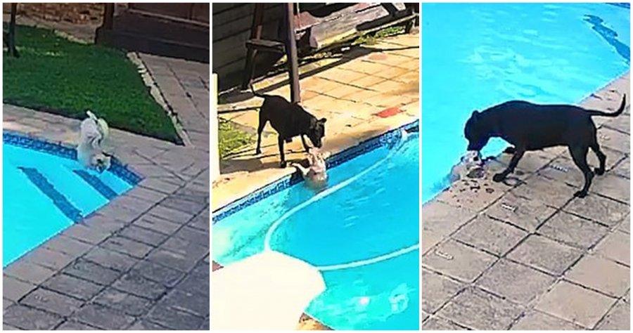 博美犬掉进泳池 斗牛梗勇救同伴获表扬