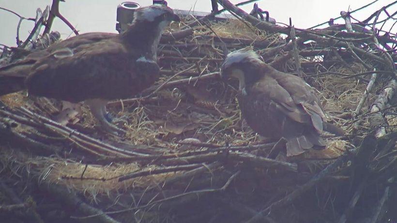 Ospreys' nesting platform cut down in 'horrific act of vandalism'