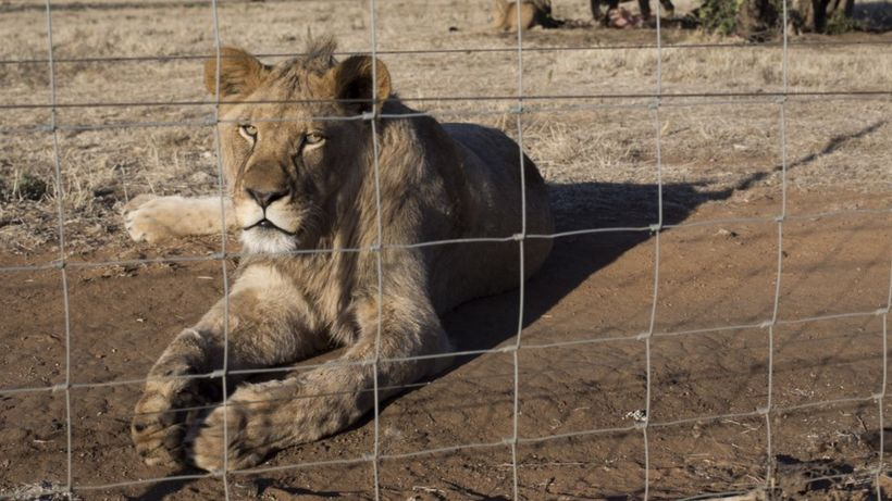 South Africa to ban lion breeding for cub petting