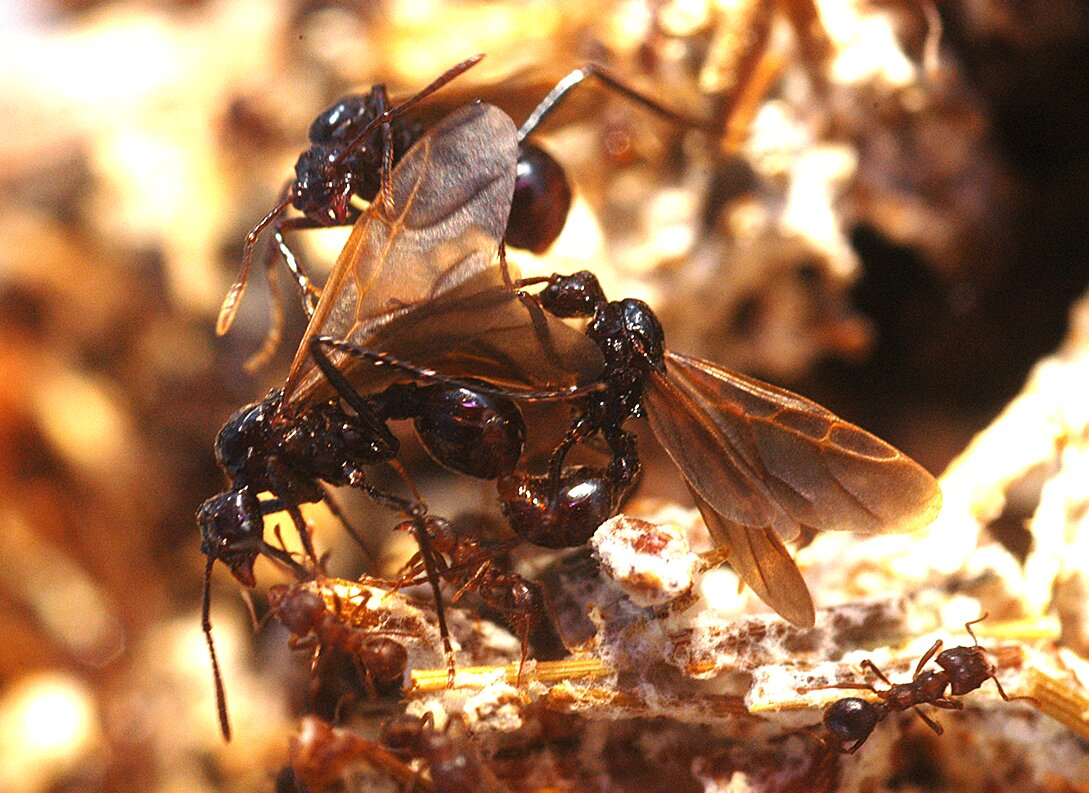 Study shows erosion of ant genome tied to loss of functional, behavioral and social traits in 3 inquiline species