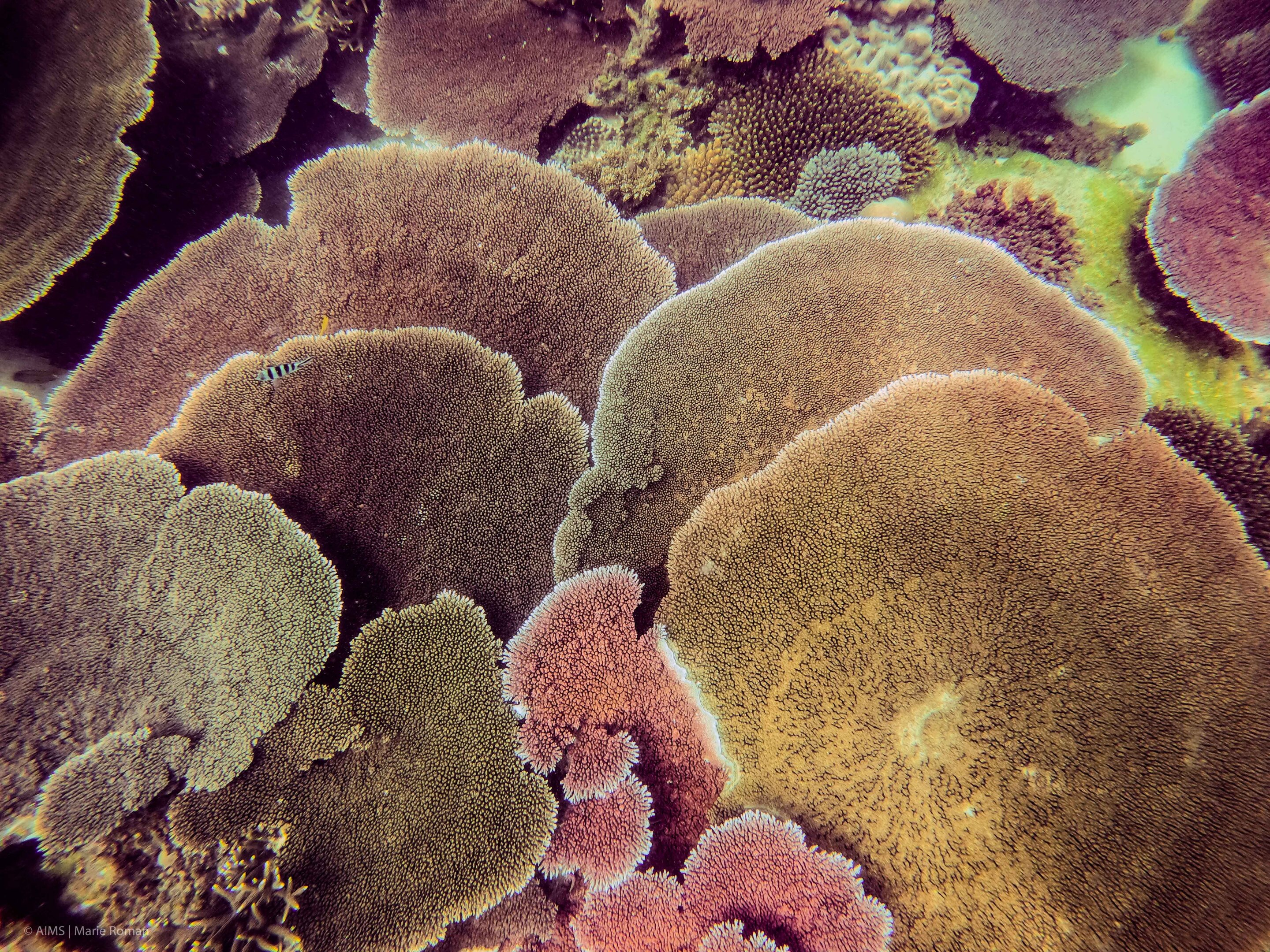 Turning the tables—how table corals are regenerating reefs