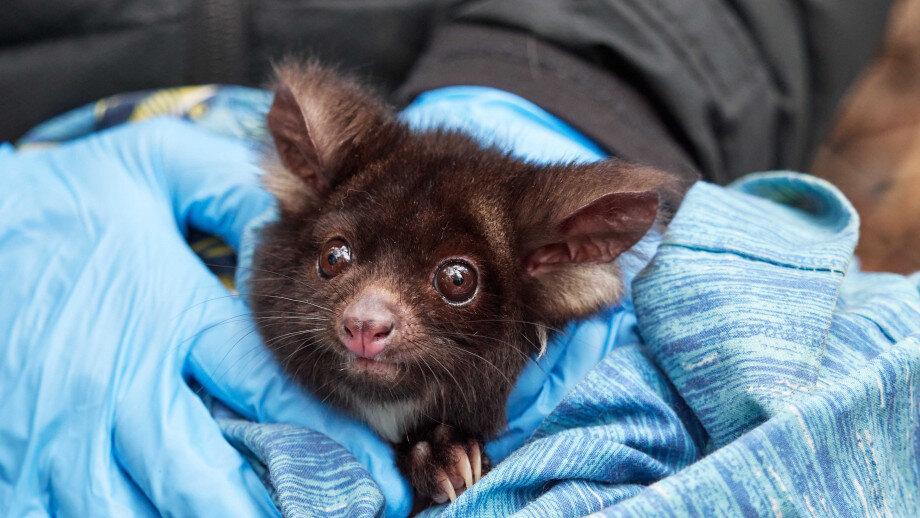 Heat spells doom for Aussie marsupials