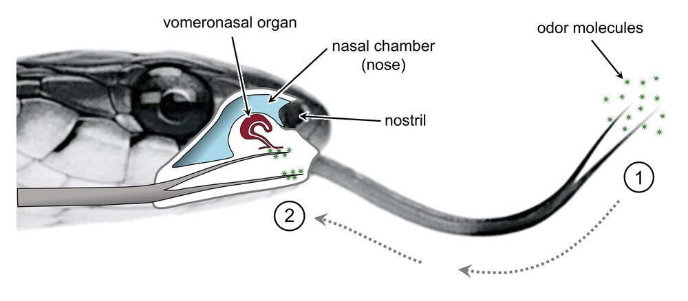 Smelling in stereo: The real reason snakes have flicking, forked tongues
