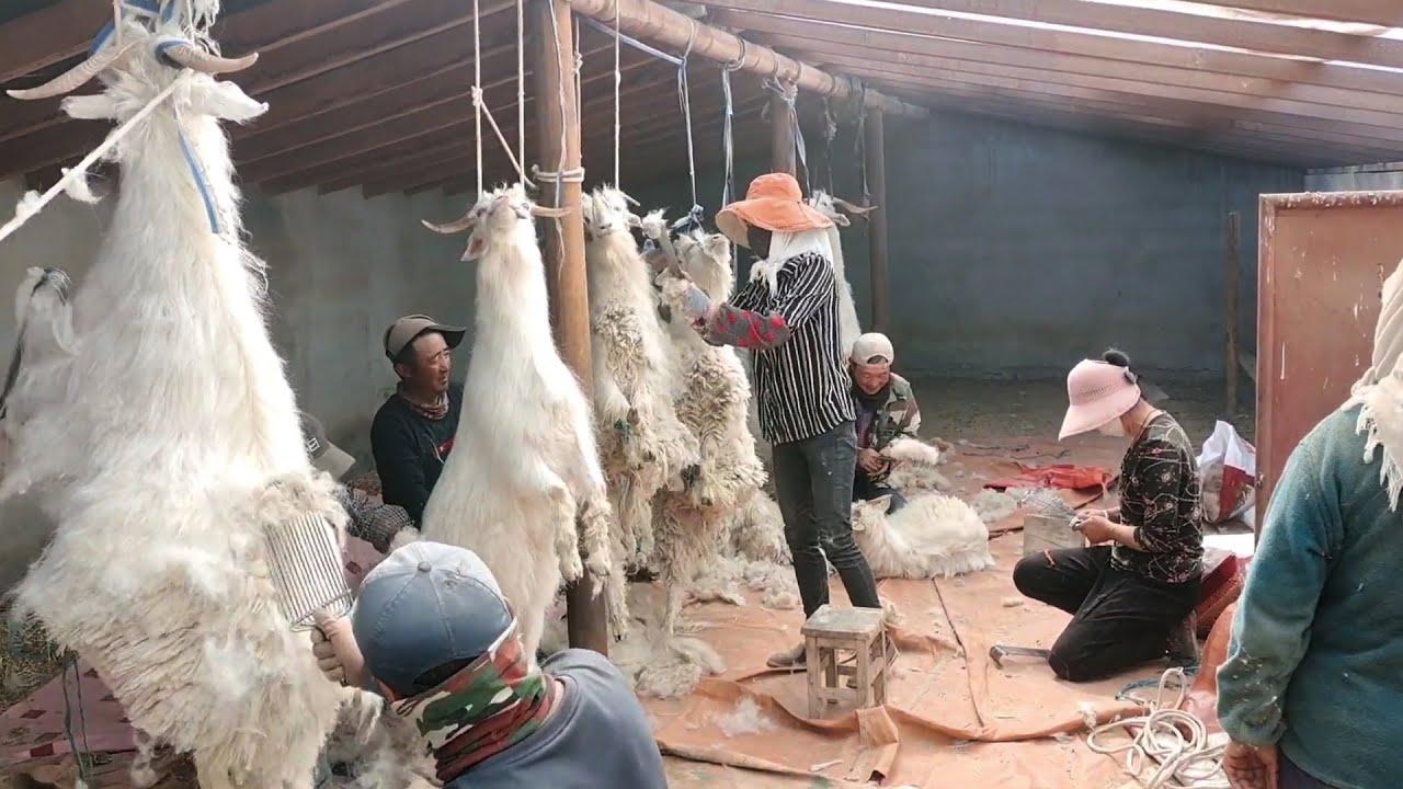 如何收获羊毛? 惊人的绵羊工厂和现代剪羊毛